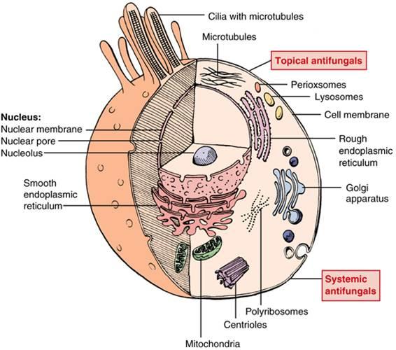 Medical Mycology: Antifungal Activity of Lavandula ...